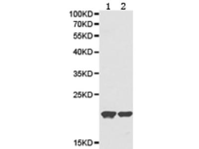 Anti-RNASE13 Rabbit Polyclonal Antibody