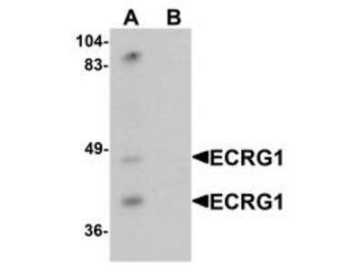 Chicken Polyclonal ECRG1 Antibody