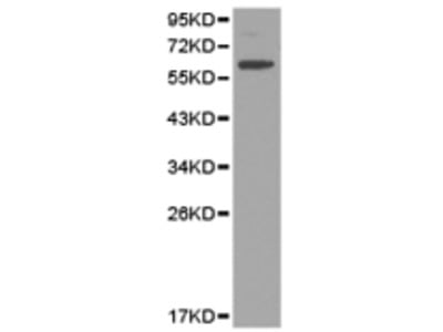 Anti-KIR2DL3 Rabbit Polyclonal Antibody