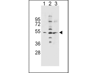 Rabbit polyclonal SLC36A1 Antibody (N-term)