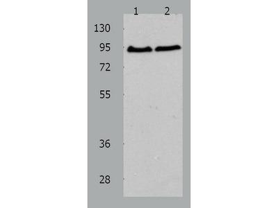 Anti-AKAP8 Rabbit Polyclonal Antibody
