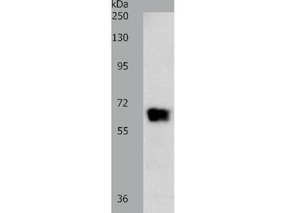 Anti-GRK4 Rabbit Polyclonal Antibody