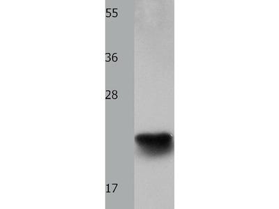 Anti-IL18 Rabbit Polyclonal Antibody