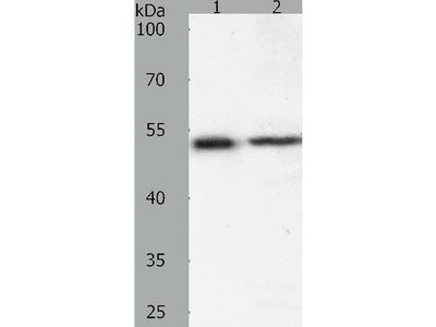 Anti-SOX1 Rabbit Polyclonal Antibody