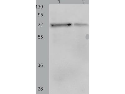 Anti-PTPN11 Rabbit Polyclonal Antibody