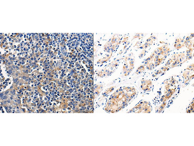 Anti-COX16 Rabbit Polyclonal Antibody