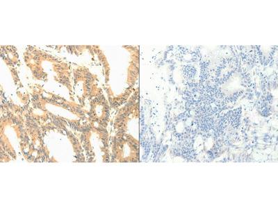 Anti-PTGES3 Rabbit Polyclonal Antibody