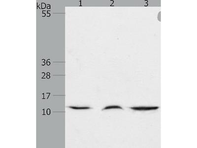 Anti-CCL17 Rabbit Polyclonal Antibody