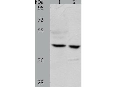 Anti-S1PR5 Rabbit Polyclonal Antibody