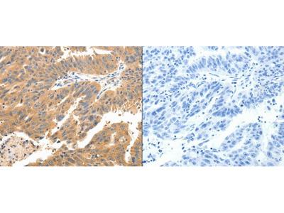 Anti-CXCL12 Rabbit Polyclonal Antibody