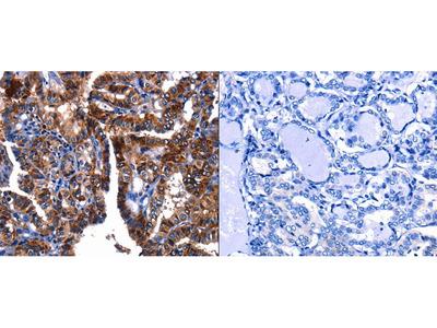 Anti-GIP Rabbit Polyclonal Antibody