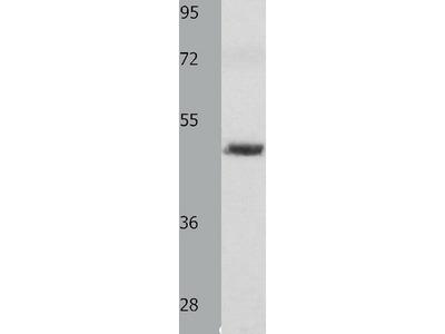 Anti-MITF Rabbit Polyclonal Antibody