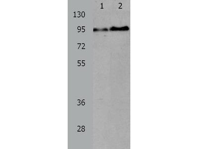Anti-AKAP8L Rabbit Polyclonal Antibody