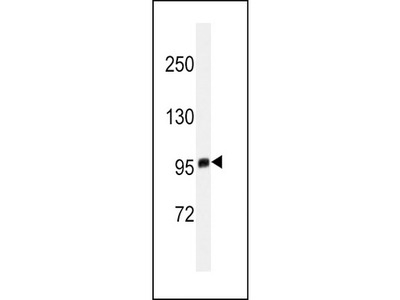 Mouse monoclonal EZH2 Antibody