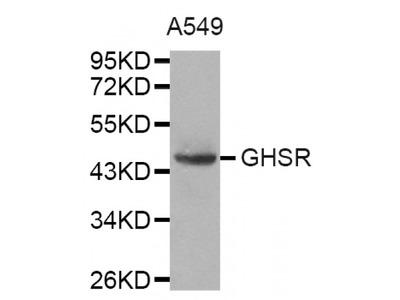 Anti-GHSR antibody