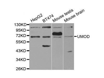 Anti-UMOD antibody