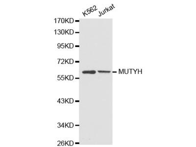 Anti-MUTYH antibody