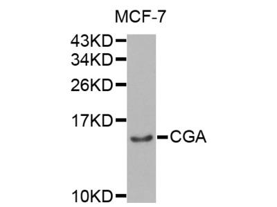 Anti-CGA antibody