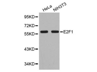 Anti-E2F1 antibody