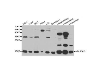 Anti-NDUFA13 antibody