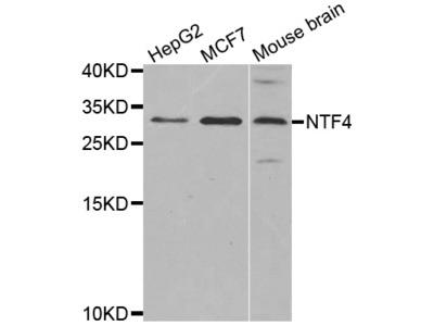 Anti-NTF4 antibody