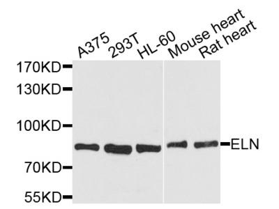 Anti-ELN antibody