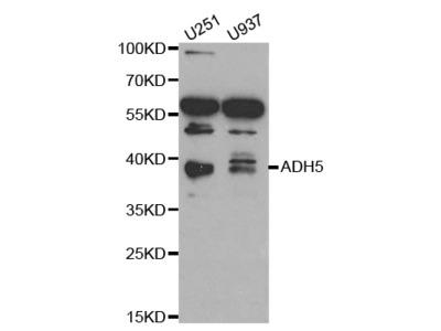 Anti-ADH5 antibody