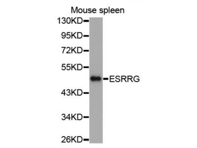 Anti-ESRRG antibody