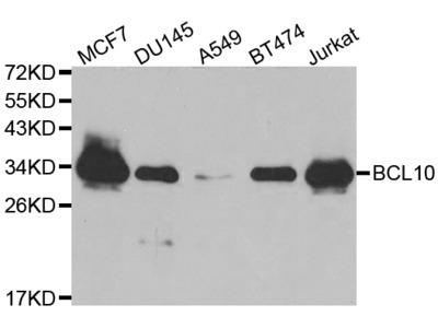 Anti-BCL10 antibody