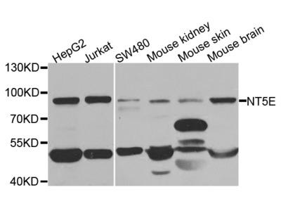 Anti-NT5E antibody