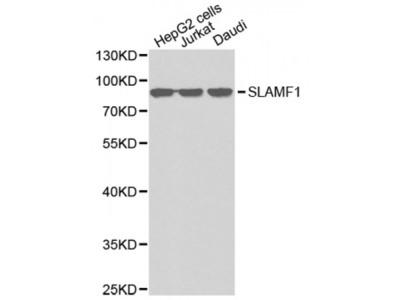 Anti-SLAMF1 antibody