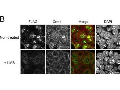 Rabbit Polyclonal CRM1 Antibody