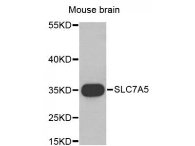 Anti-SLC7A5 antibody