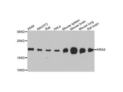 Anti-KRAS antibody