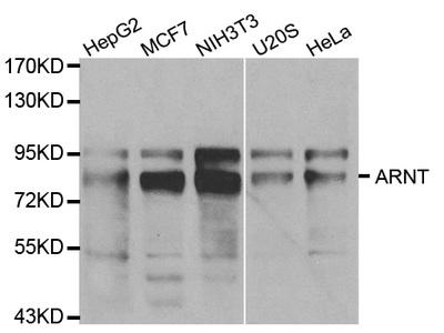Anti-ARNT antibody