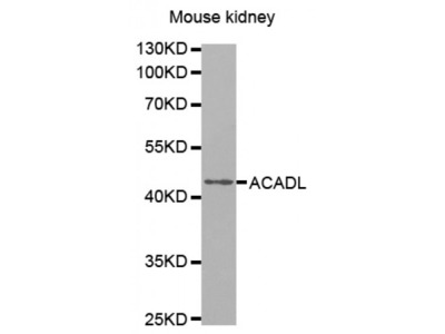 Anti-ACADL antibody