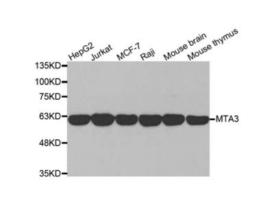 Anti-MTA3 antibody