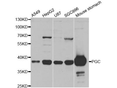 Anti-PGC antibody