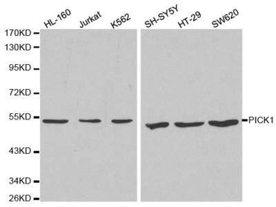 Anti-PICK1 antibody
