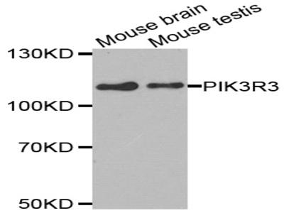 Anti-PIK3R3 antibody