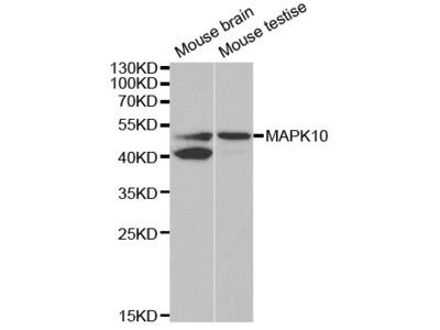 Anti-MAPK10 antibody