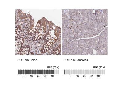 Anti-PREP Antibody