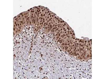 Anti-SUMO2 Antibody