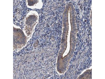 Anti-N4BP2L2 Antibody