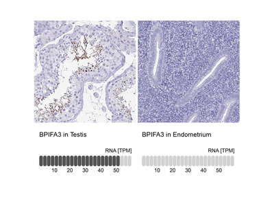 Anti-BPIFA3 Antibody