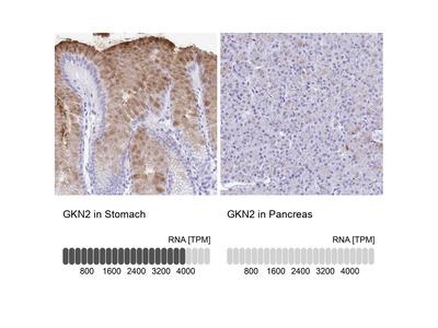 Anti-GKN2 Antibody