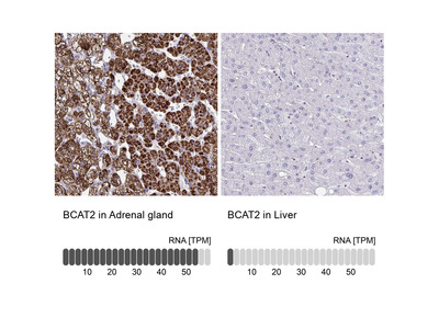 Anti-BCAT2 Antibody