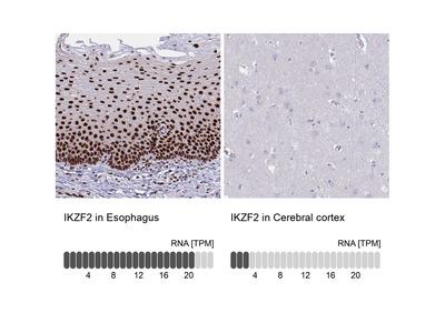 Anti-IKZF2 Antibody