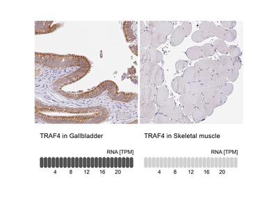 Anti-TRAF4 Antibody
