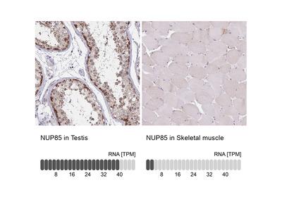 Anti-NUP85 Antibody